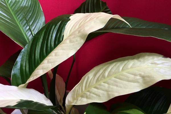 Spathiphyllum growing / Спатифиллум, обзор сортов и содержание