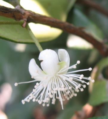 Eugenia reinwardtiana Australia = Syzygium sp (T02) Australia 26
