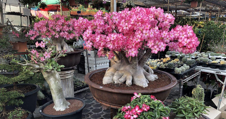 АПРЕЛЬ – Адениумы – цветы или каудекс?