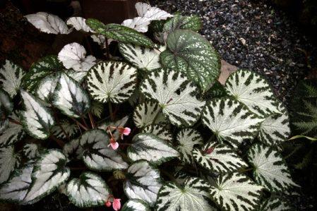 Begonia / Бегония, каталог