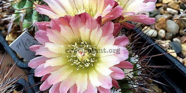 Коллекция Кактусы (Cactus)