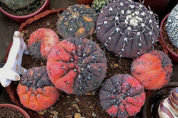 Гимнокалициумы, астрофитумы и другие кактусы, частная коллекция, Таиланд