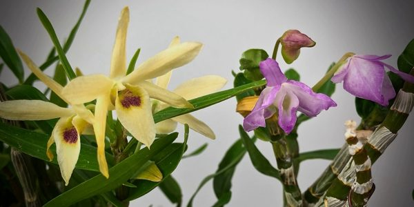 Коллекция Дендробиум монилиформе (Dendrobium moniliforme)