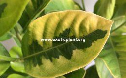 gardenia-'Belmont'-variegated-55