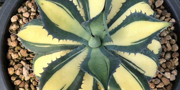 Медиовариегатность (Центральная вариегатность) у растений