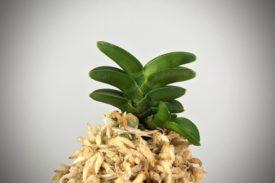 Neofinetia falcata Rikiwa (Chikarawa)  力和 력화
