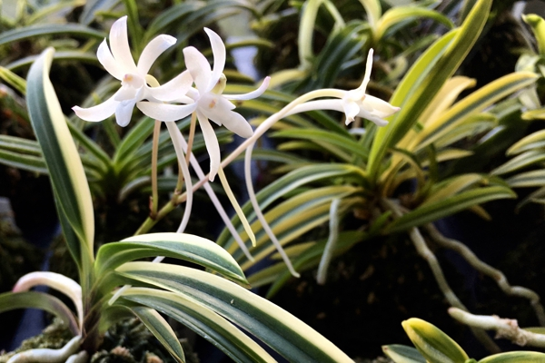 Neofinetia falcata Momoyama nishiki 桃山錦