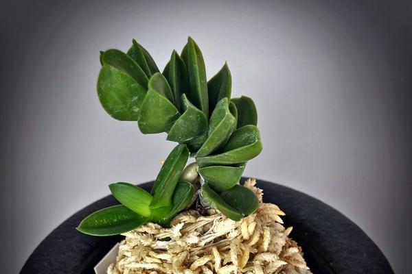 Neofinetia falcata Daimusou/Oomuso 大無双