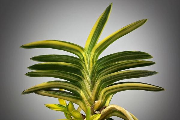 Neofinetia falcata Ryokusaiho緑彩宝 녹채보