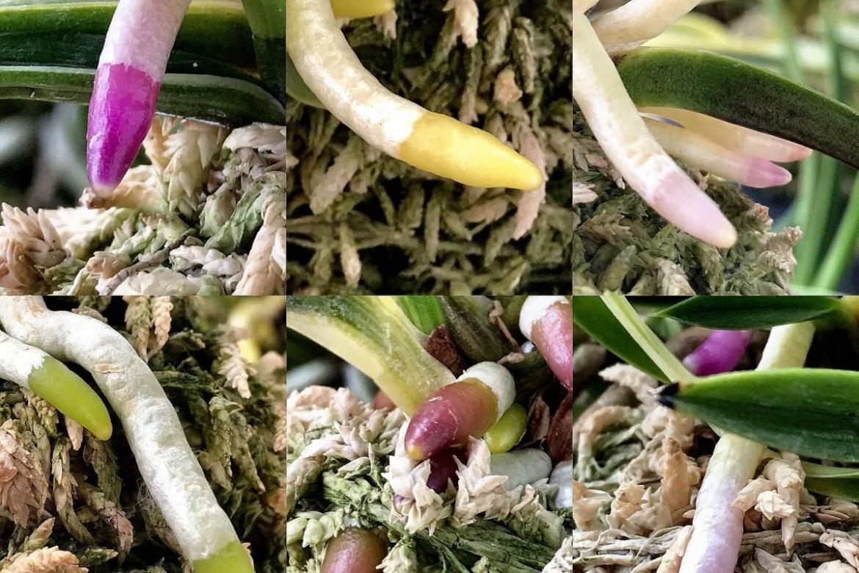 Неофинетии – цветы, листья или корни