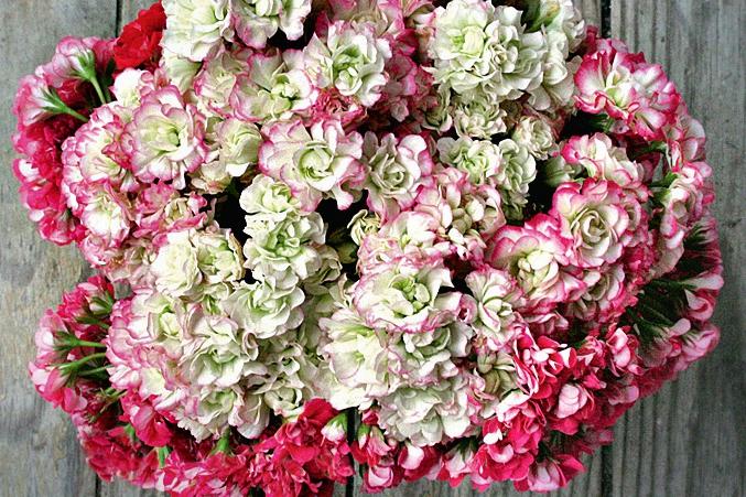 Розоцветные пеларгонии: выбираем сорт, обеспечиваем условия, размножаем