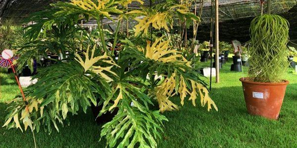 Philodendron / Филодендрон, каталог