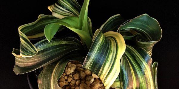 Коллекция Омото Родея японская (Omoto, Rohdea japonica)