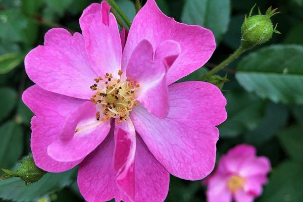 Розы, практическая классификация для садоводов