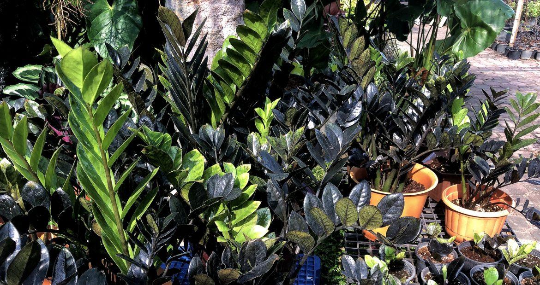 МАРТ – Растение месяца – ЗАМИОКУЛЬКАС