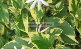 Копия-Jasminum-multiflorum-white-margin-leaf1