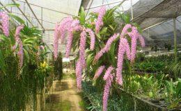 10-Aerides-rosea-Fragrant-BS-20