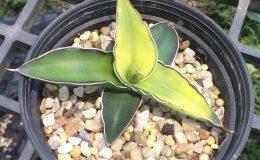 104-robusta-Dark-Green-variegated