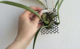 129-Bulbophyllum-skeatianum-BS-12-40