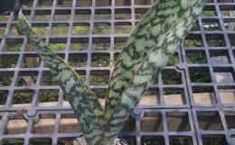 189-aubrytiana-variegated