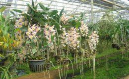 197-Dendrobium-amabile-BS-100
