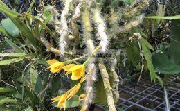 199-Dendrobium-aphyllum