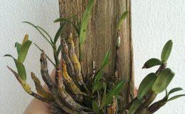 225-Dendrobium-crystallinum-BS-20