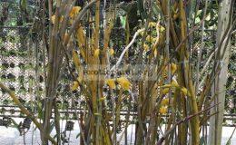 235-Dendrobium-dixanthum
