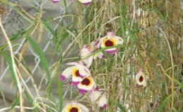 241-Dendrobium-falconeri-JQ-228-BS-20
