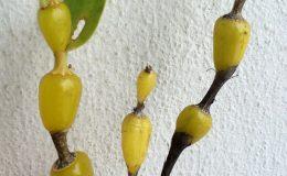243-Dendrobium-findlayanum-Fragrant-BS-12-40