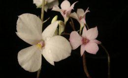 246-Dendrobium-fytchianum-BS-12-40-Dendrobium-barbatulum