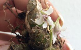 278-Dendrobium-peguanum-BS-12-40-