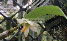 287-Dendrobium-scabrilingue
