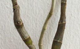 289-Dendrobium-seidenfadenii-dickasonii-BS-20