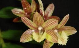 291-Dendrobium-serratilabium-BS-100