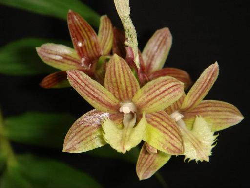 291 Dendrobium serratilabium BS 100
