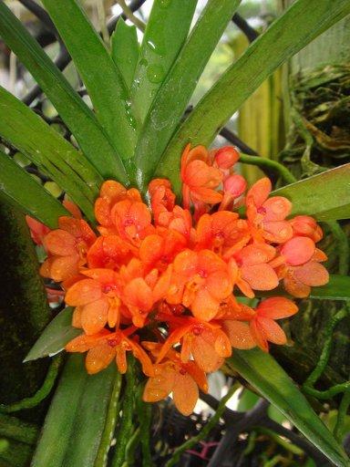 33 Ascocentrum(syn.)/Vanda ampullaceum(syn.)/ampullacea Orange BS 12-40