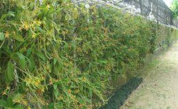 453-Phalaenopsis-cornu-cervi-BS-12-40