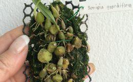 520-Sunipia-grandiflora-BS-12-40