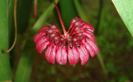 59-Bulbophyllum-concinnum-BS-12-40