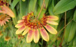 85-Bulbophyllum-lepidumsyn-flabellum-veneris-BS-12-40