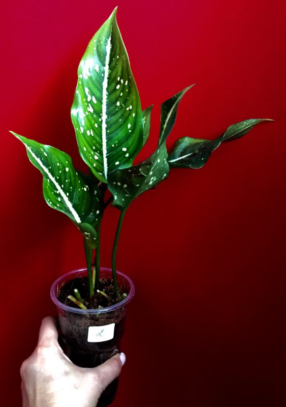 Aglaonema costatum 16