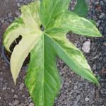 Anthurium-pedatoradiatum-variegated-120-150×150