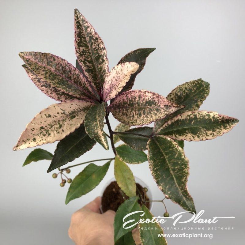 Ardisia japonica crispy pink variegata / ардизия японская криспи пинк вариегата 60