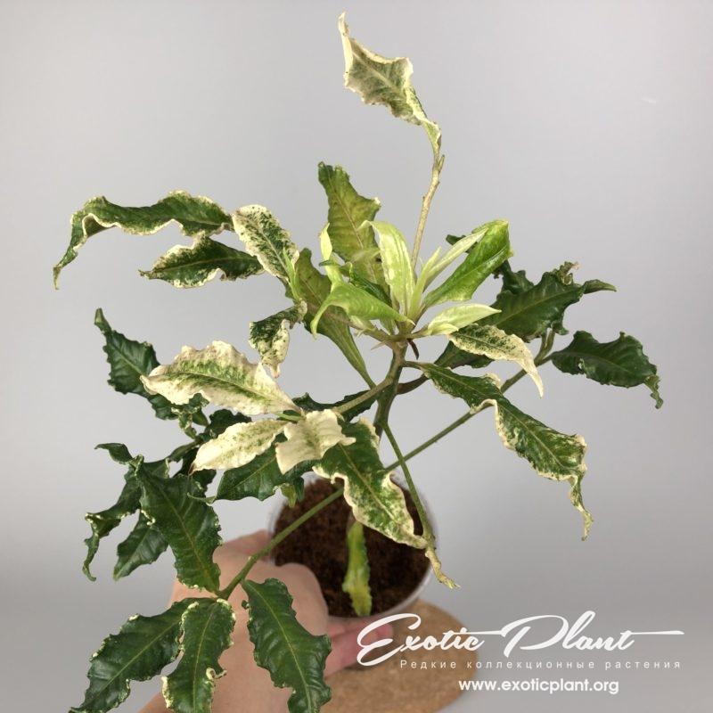 Ardisia japonica crispy white variegata / ардизия японская криспи вайт вариегата 60