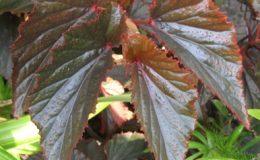 Begonia-Arabian-SunsetT21-12