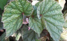 Begonia-MargaritaceaT37-12-e1451241852484