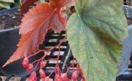 Begonia-T01-12-e1451241658441
