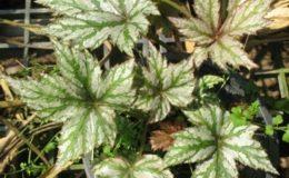 Begonia-T02-12
