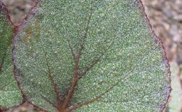 Begonia-T04